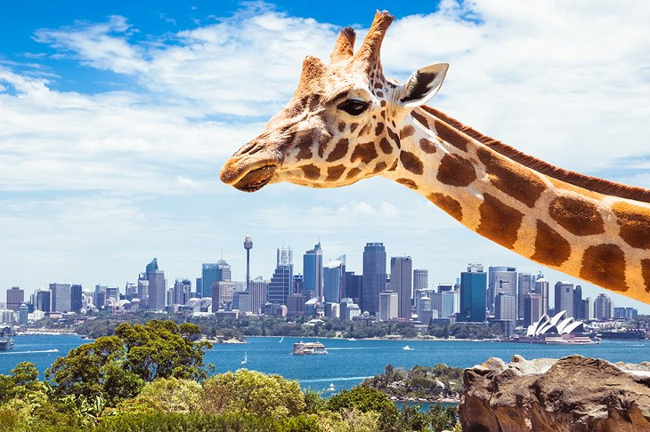 Commune with Kangaroos at Taronga Zoo