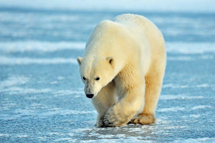خرس قطبی چرچیل، مانیتوبا