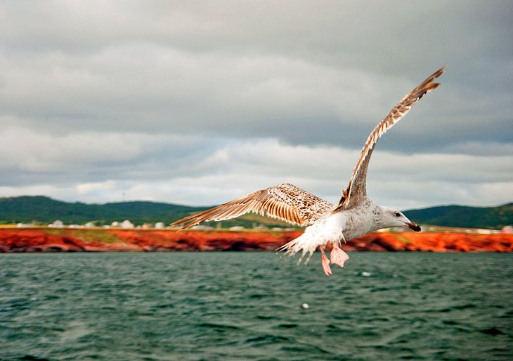 Seagull against a backdrop of red cliffs