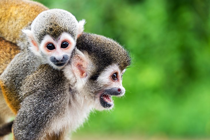 Squirrel monkeys, Leticia