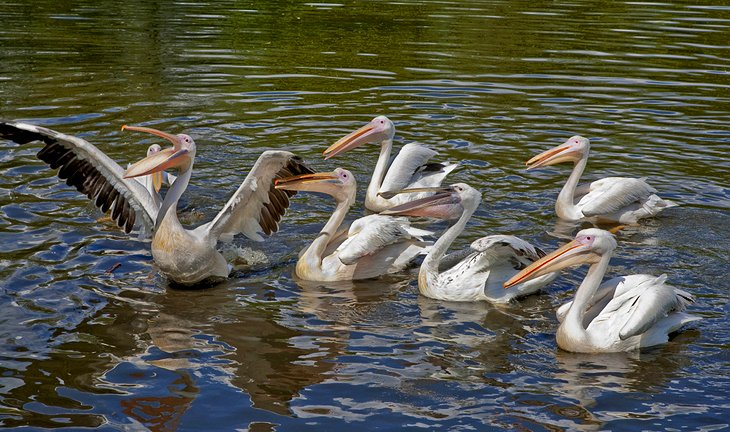 Pelicans, Odense Zoo