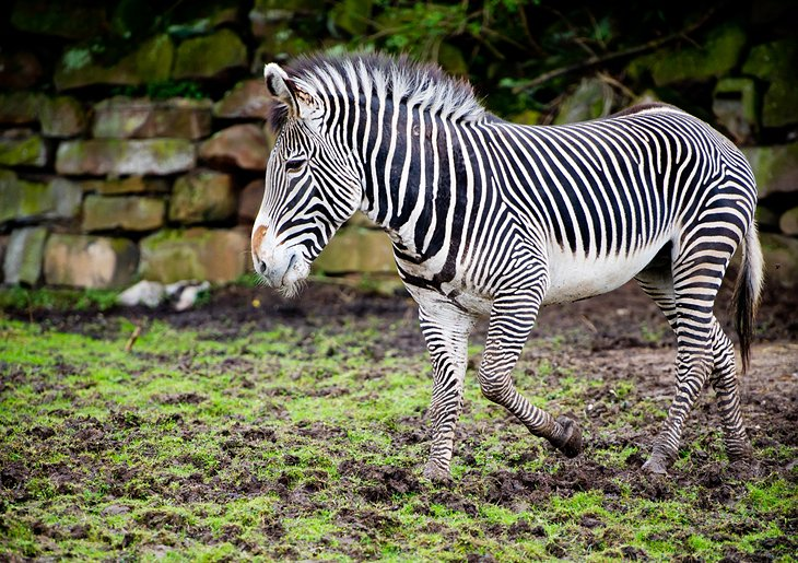 Zebra at the Chester Zoo