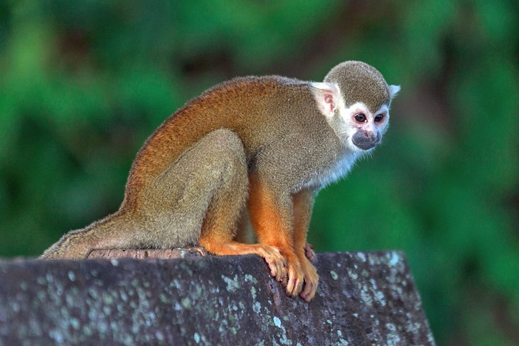 Squirrel monkey at Ilet la Mère