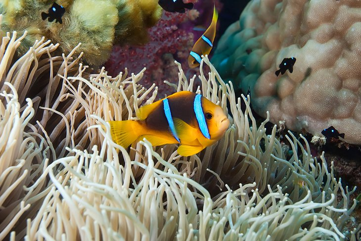 Clownfish and sea anemone