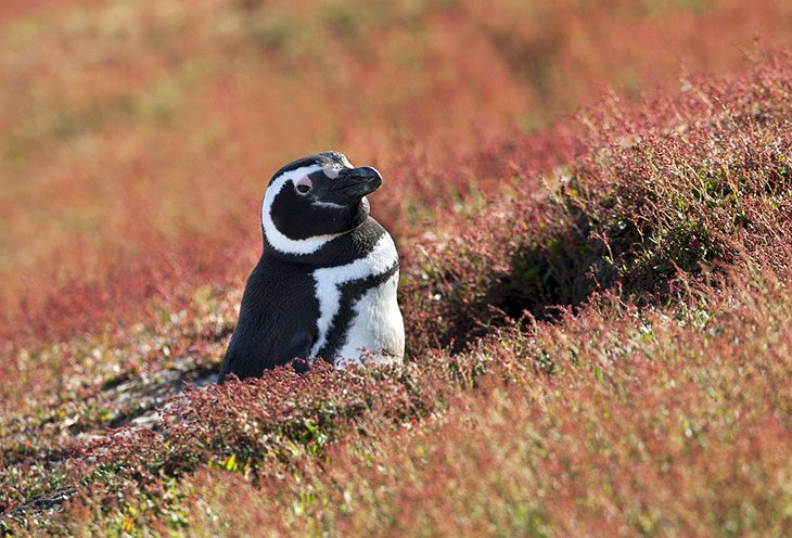 Magellanic penguin on Steeple Jason Island