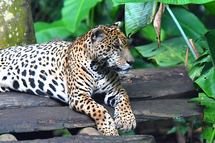 Jaguar at Zoo de Guadeloupe