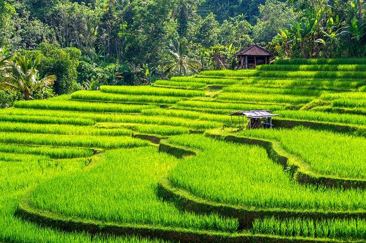 مصاطب الأرز في بالي، إندونيسيا