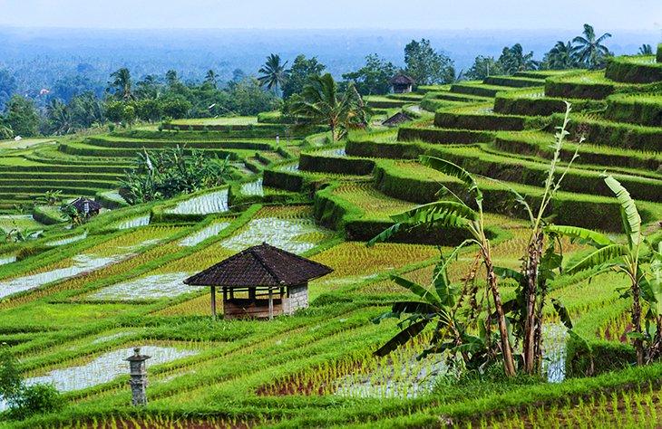 مزارع برنج جاتیلووی، بالی