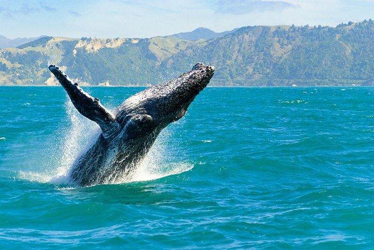 A whale breaching in Kaikoura, South Island