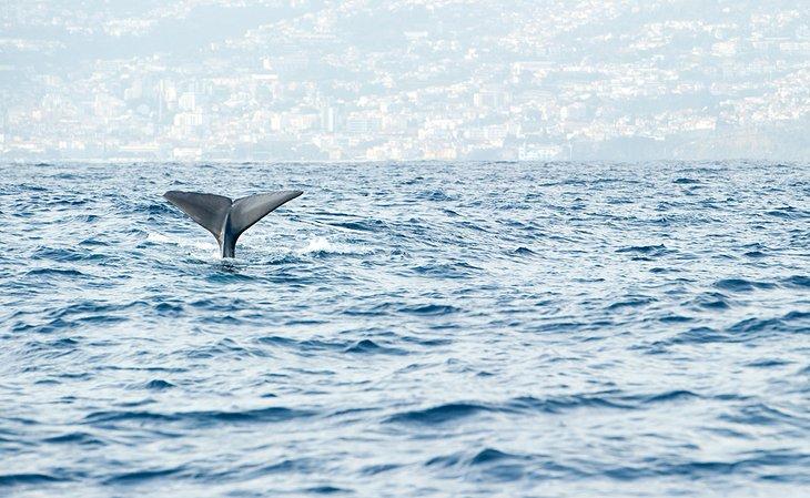 Sperm Whale off Madeira
