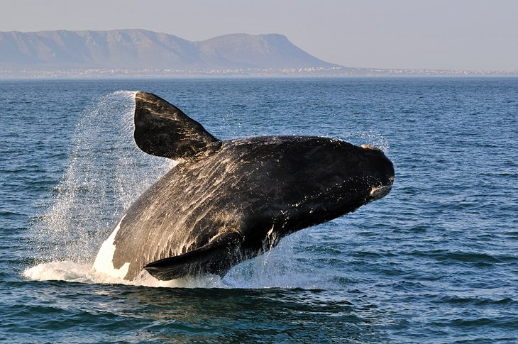 Whale Watching at Hermanus