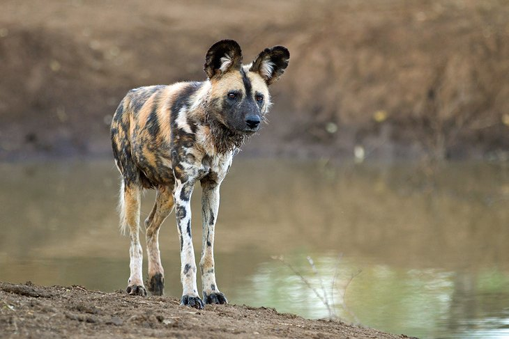 African wild dog at Madikwe Nature Reserve, North West Province