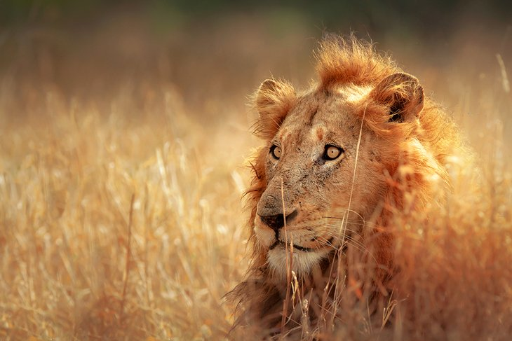 exploring kruger national park a visitor\u0027s guide planetwarekruger national park lion