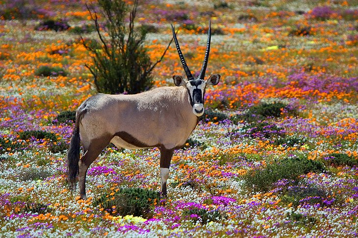 Oryx in Namaqualand