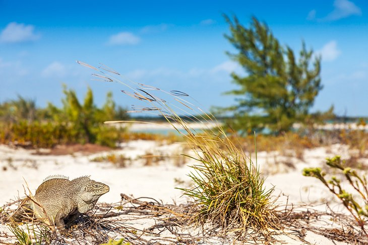 An endangered rock iguana on Little Water Cay