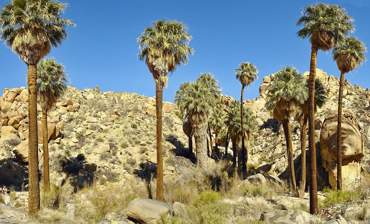 Lost Palms Oasis and 49 Palms Trails at Joshua Tree National Park