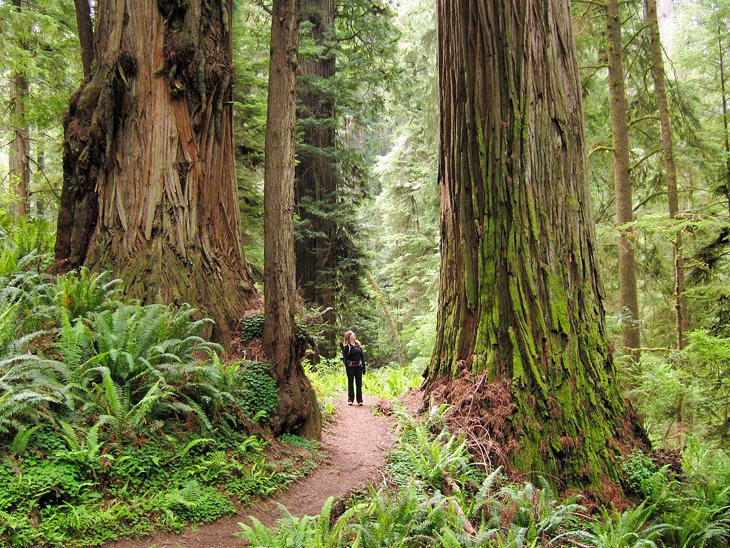 Redwood National Park: Boy Scout Tree Trail
