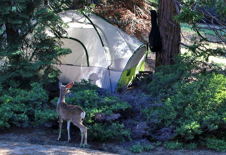 Deer at a campsite in Kings Canyon National Park