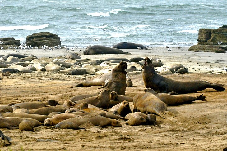 Elephant Seals at Año Nuevo State Park