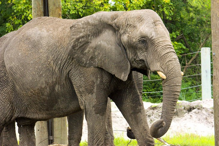 Elephant at the Jacksonville Zoo