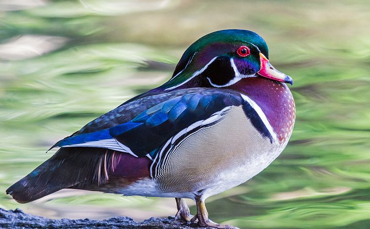 Wood Duck at Ellie Schiller Homosassa Springs State Park