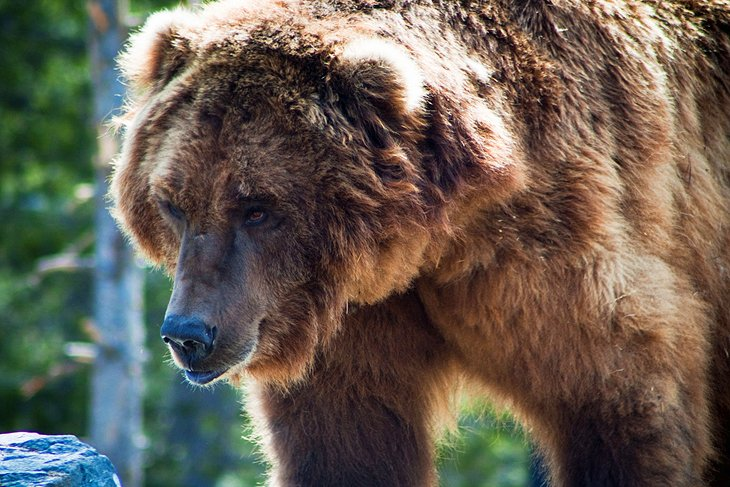 The Grizzly and Wolf Discovery Center