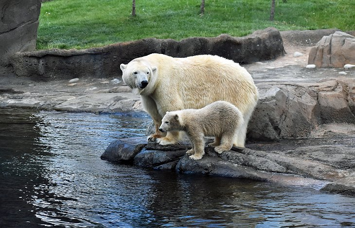Polar bears at the Columbus Zoo