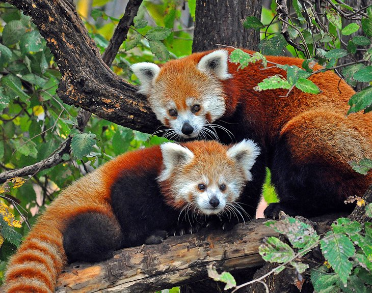 Red pandas at Oklahoma City Zoo