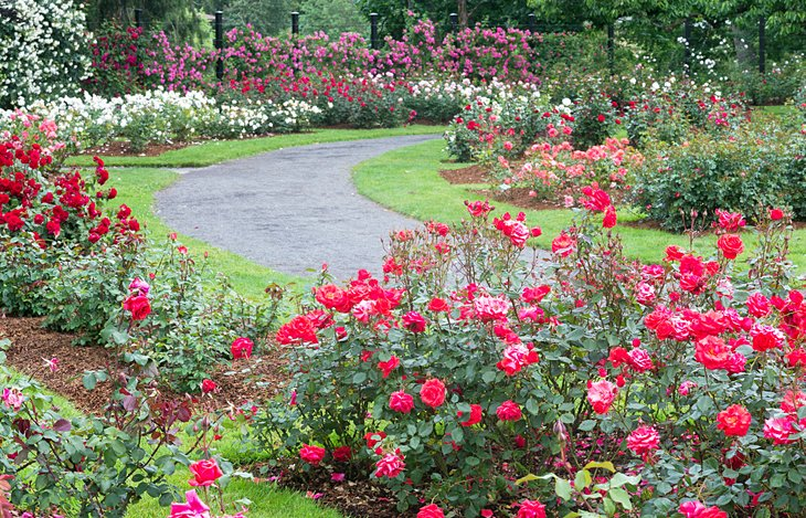 A pathway through Owen Rose Garden