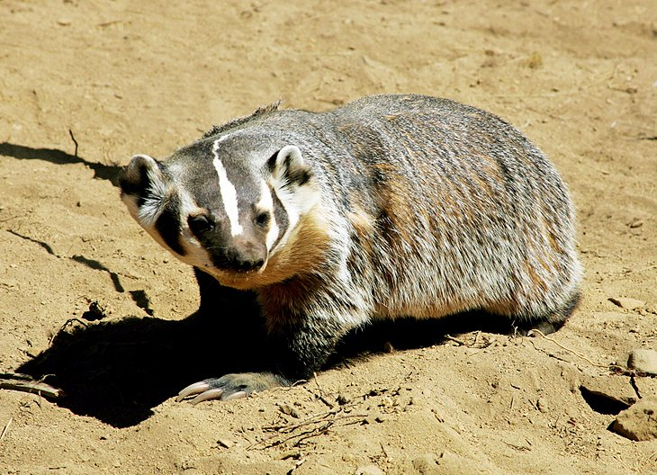 Badger in High Desert Museum