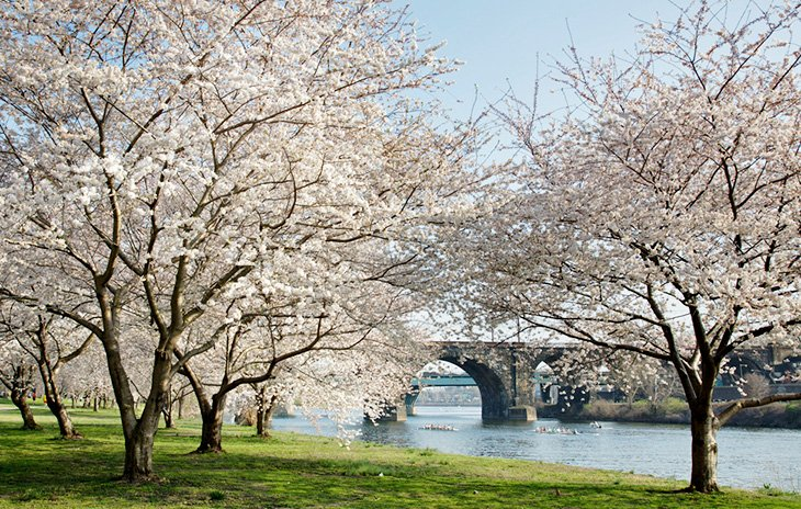 Cherry blossoms along the Schuylkill River