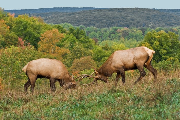 Elk in Elk State Forest