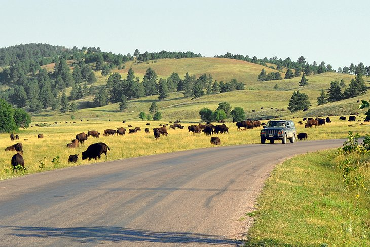 Buffalo along the Wildlife Loop Road