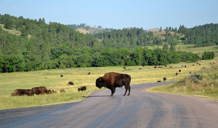Buffalo near Blue Bell Campground
