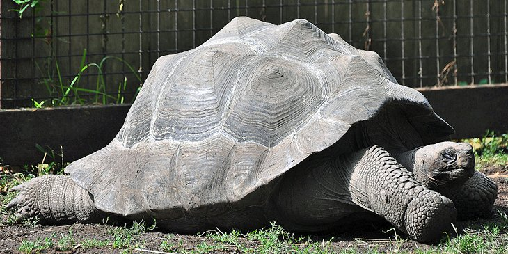 Giant Tortoise at the Great Plains Zoo