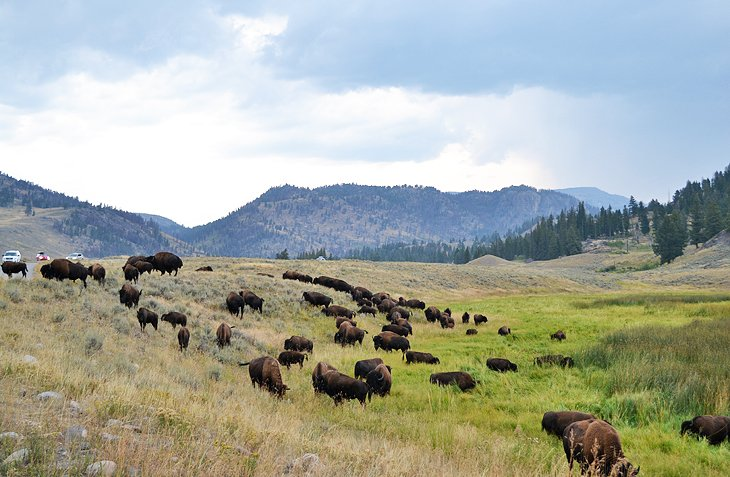 Bison near the Slough Creek Campground