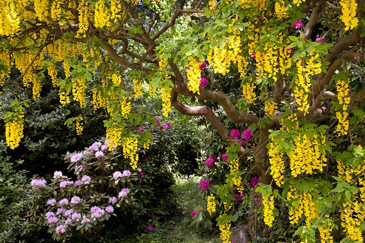 Weeping laburnum at Bodnant Garden