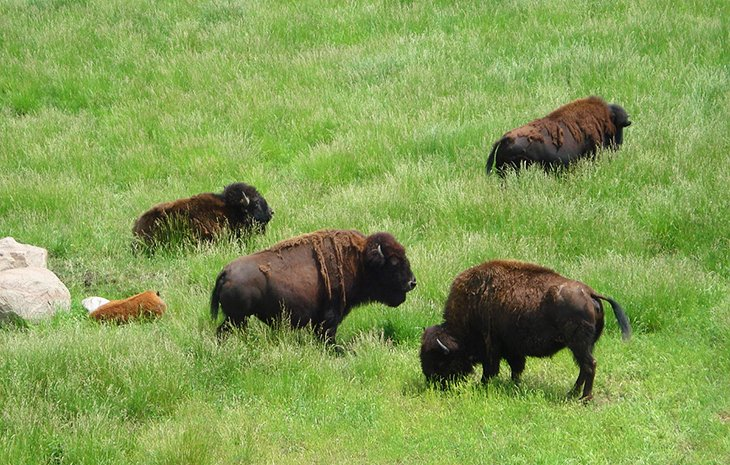 Bison at Wildlife Prairie Park
