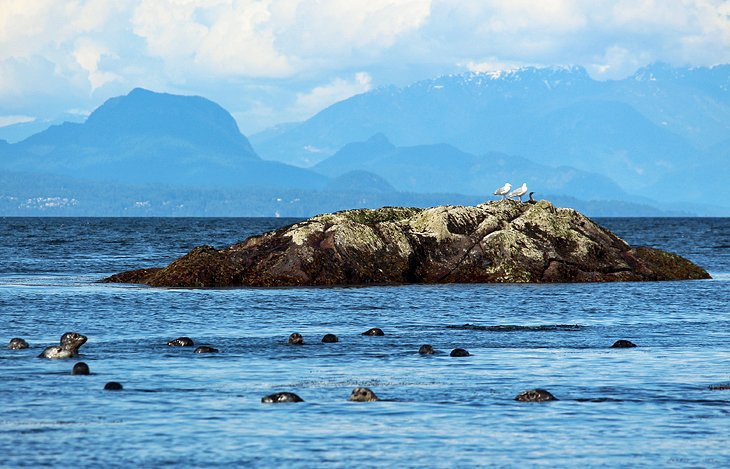 Harbor seals near Nanaimo