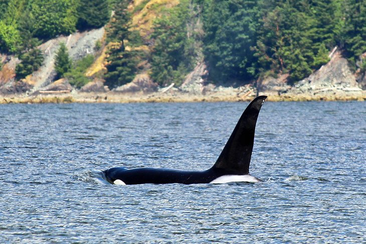 Orca on a Whale Watching Tour from Nanaimo