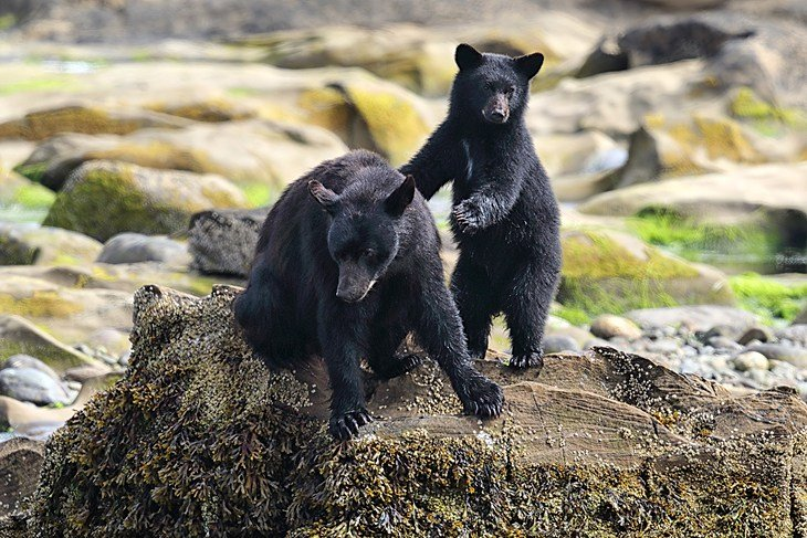 Bears on the shore at Tofino