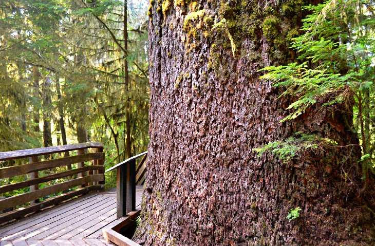 Interpretive Information of the Quinault Rain Forest Nature Trail