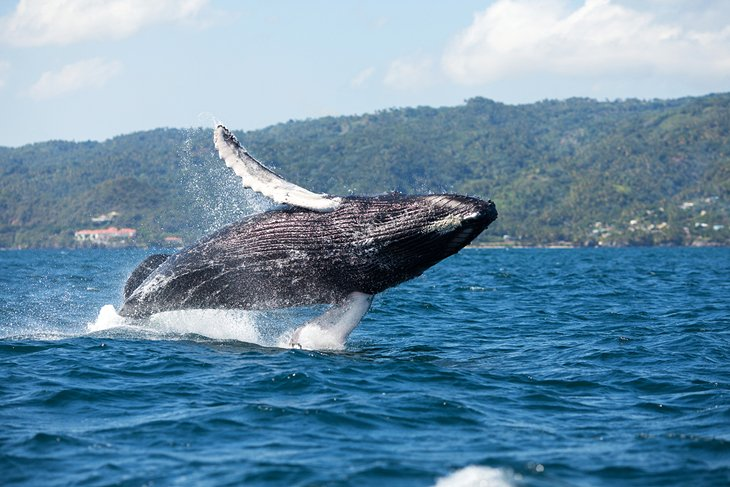 Humpback whale in Samaná Bay