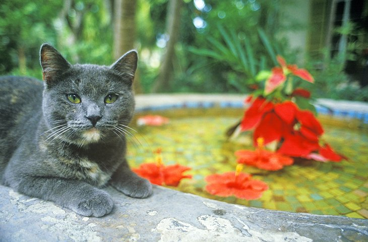 Resident cat in the gardens at the Ernest Hemingway Home and Museum