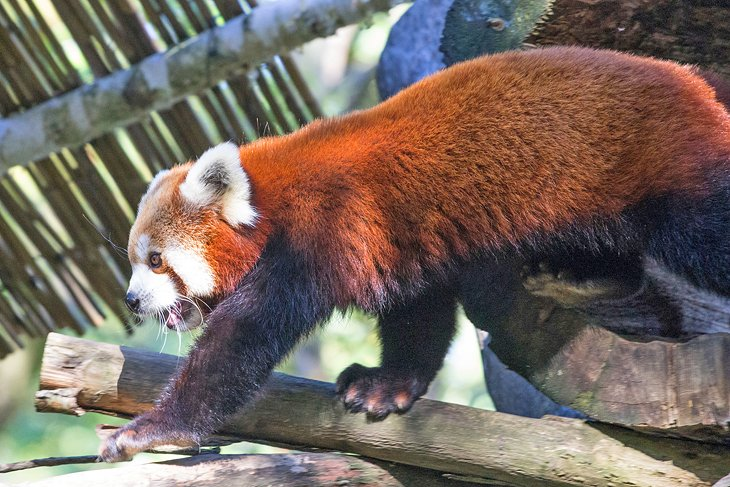 Red panda at Pistoia Zoo
