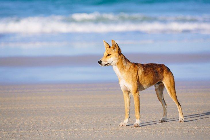 Dingo en la playa