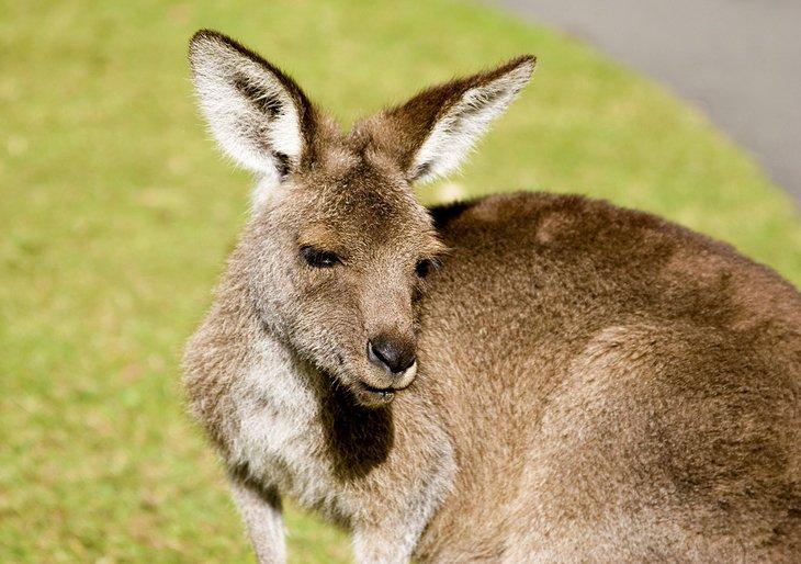 Kangaroo at Australia Zoo