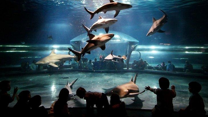 Tiburones toro, Acuario de Oklahoma