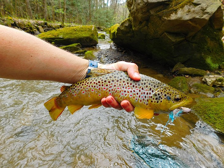 Wild brown trout in Pennsylvania