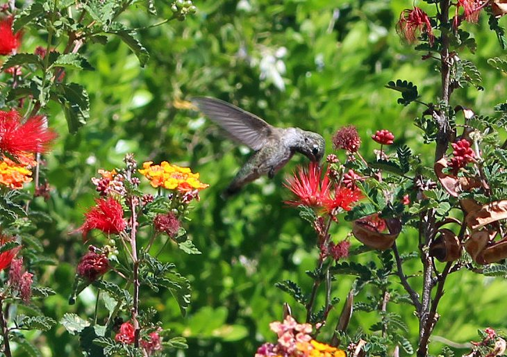 Hummingbird at the Desert Botanical Garden